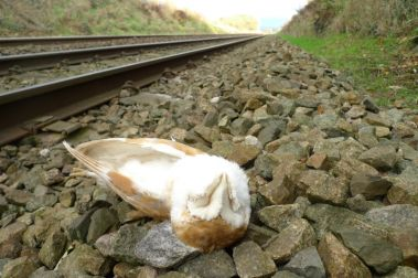 Dead Owl by railway tracks