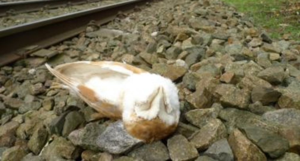 Dead barn owl by rail