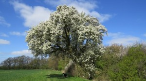 Cubbington's 250 year old pear tree to be axed for HS2