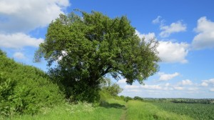 Cubbington's (threatened) c250 year old Wild Pear tree in summer. From jencollett@jencollett.plus.com by email