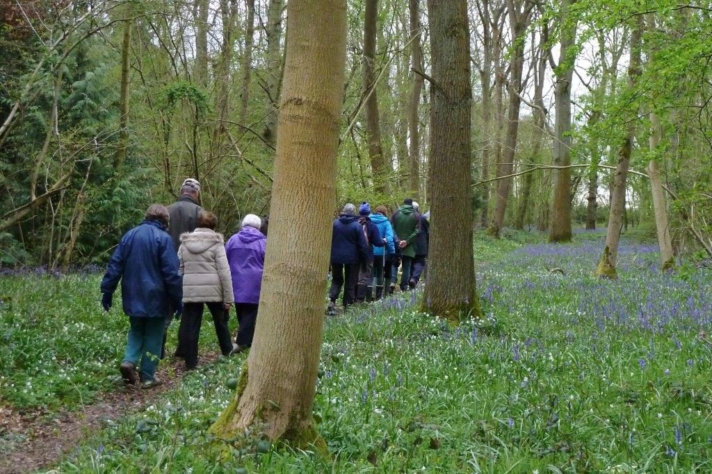 Photo attached shows people on one of the Action Group's guided walks in the wood among bluebells and anemones, taken on 24 April 2016 (Photo by Frances Wilmot).