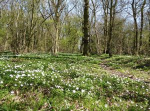 Anemones Sth Cubbington Wood in March, a previous year. ©FWilmot