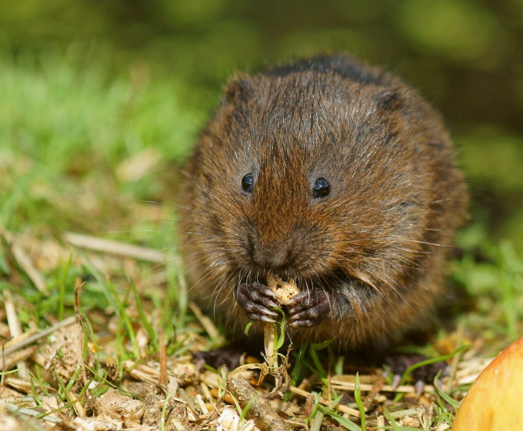 The rare, endangered and protected water vole, which is known to inhabit areas of the park where HS2 is currently working